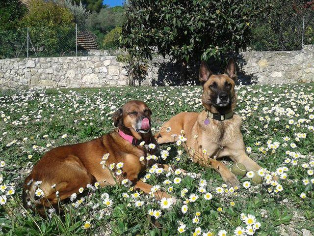 Les chiens de vincianes